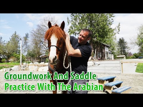Groundwork and Saddle Practice WIth The Arabian
