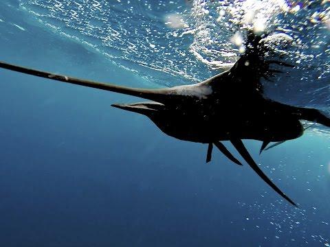 Florida Keys Sailfish Fishing : Lady of the Sea : Go Pro HD