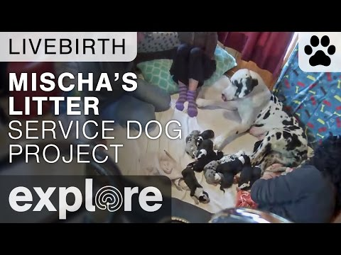 Mischa's Litter - Service Dog Project - Live Birth