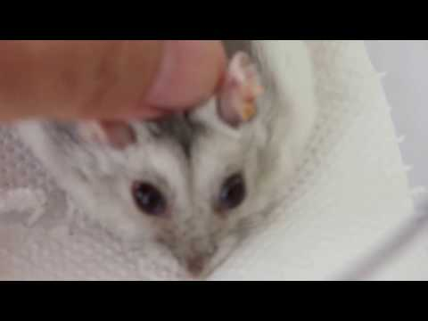 Final Video: A hamster's ear warts extend inside the ear. Any medication?