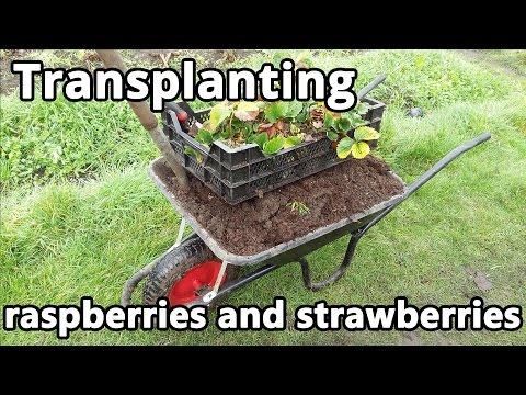 Transplanting Raspberries And Strawberries