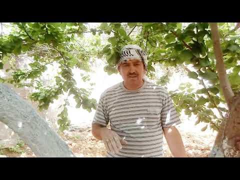 طلاء شجرة المشمش بالشيد. We paint the aprecot tree with lime