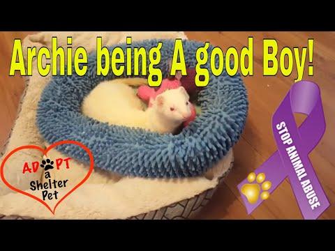 Archie the Ferret - Being a Good boy!