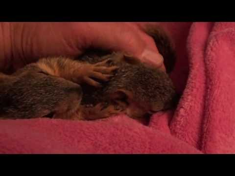 Baby Squirrel Project - Day 47 - Sleepy Time!
