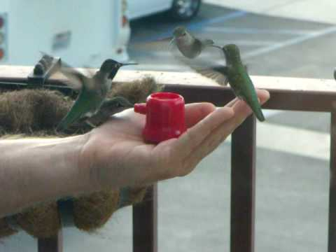 Hummingbirds eating from my hand (2)