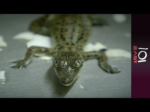 🇦🇺 Australia: Killer crocs  | 101 East