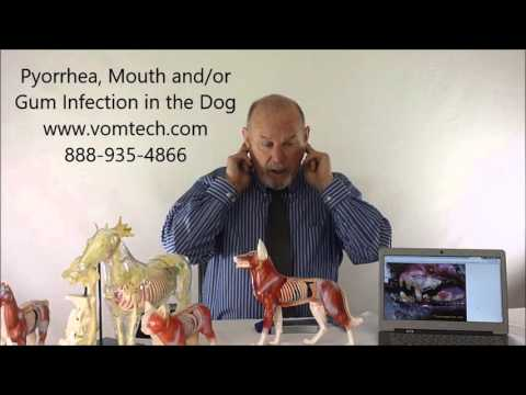 What is Pyorrhea, Mouth Gum Teeth Infection the Dog?