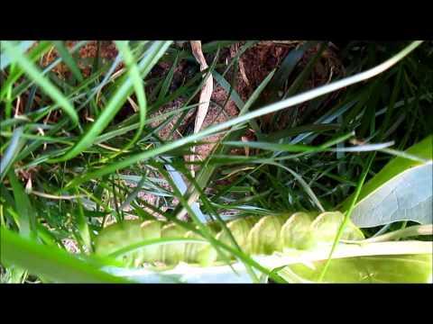 Datura vs worm