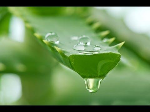 Aloe Vera Gel Extraction