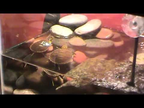 Raising Baby Turtle's and What you need. Best video