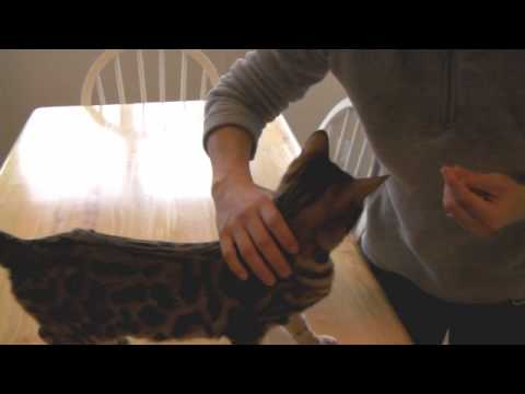 Cat Training - Shaping a Handling Behavior - Session 1