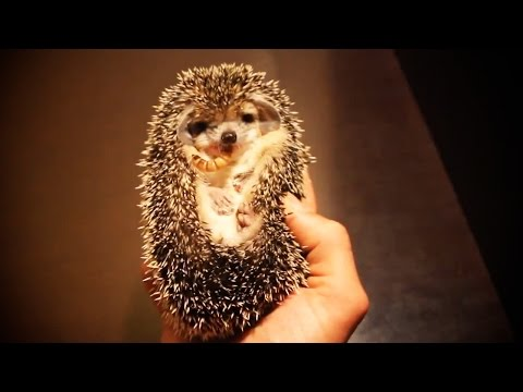 Cute And Funny Hedgehogs 😍 [Funny Pets]