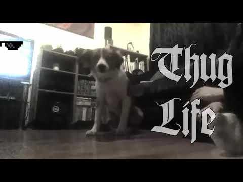 Thug life collie