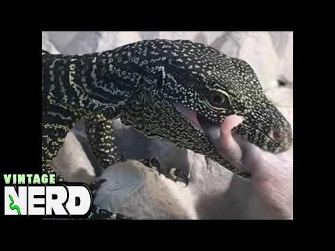 Cute baby Crocodile Monitor feeding time!