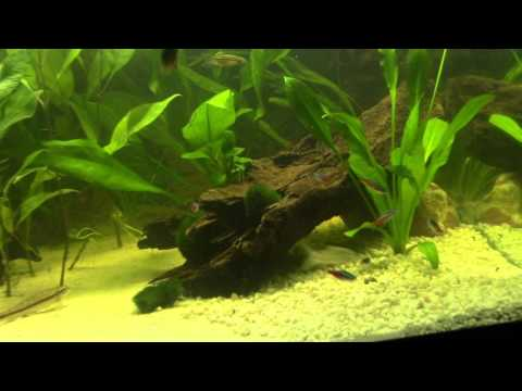 How to breed neon tetras for beginners