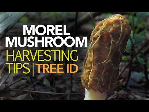 Morel Mushroom Harvesting Tips — Tree Identification