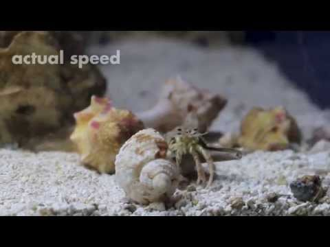 Shell swapping hermit crab