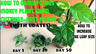 How to Grow Pothos / Money Plant from Cuttings (WITH UPDATES)