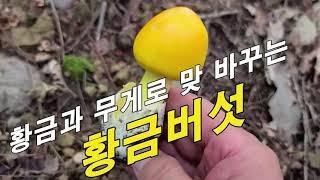 무게를 달아 황금과 맞 바꾸는 황제버섯~!! 죽기전에 먹어 봐야할 음식 1000선 중 이 버섯이 들어간다.