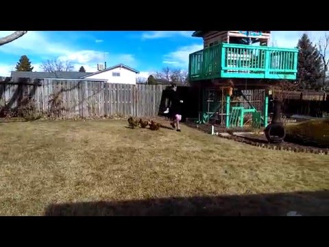 Jogging With The Chickens!