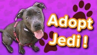 Adopt Jedi! // Pit Bull // Adoptable Featurette