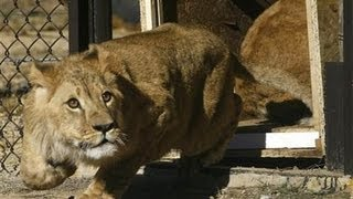 Lions rescued from Romanian zoo released into South African sanctuary