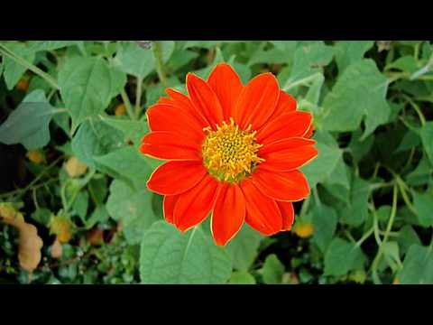 Facts about Mexican Sunflower Plants