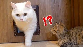 Download 先輩猫の華麗なる通り抜けを見てやり方を学ぶ子猫! Video