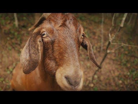 Full Frame Close Up: Get Your Goat!