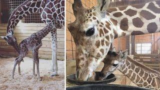 Top 10 Names for April the Giraffe