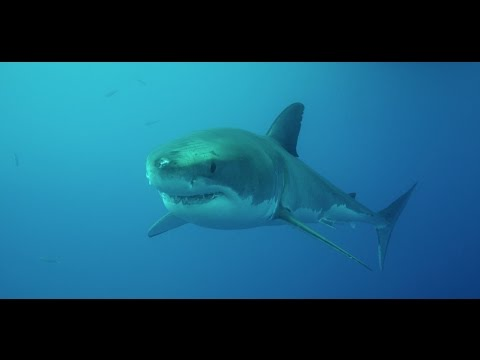 RED Dragon and Great White Sharks at Isla Guadalupe