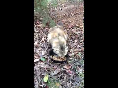 Pretty Maine Coon Cat Eating  11-4-15 Northern Virginia