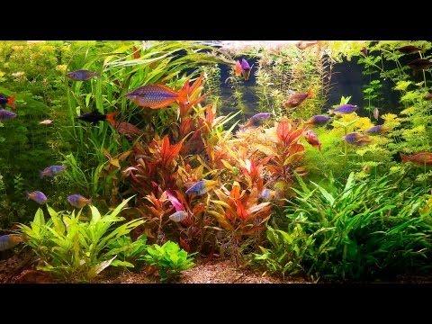 How to Remove Red Algae from Fish Tank | Aquarium Care