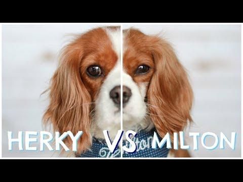 Herky vs Milton | Cavalier King Charles Dog Personalities, Behaviours & Habits