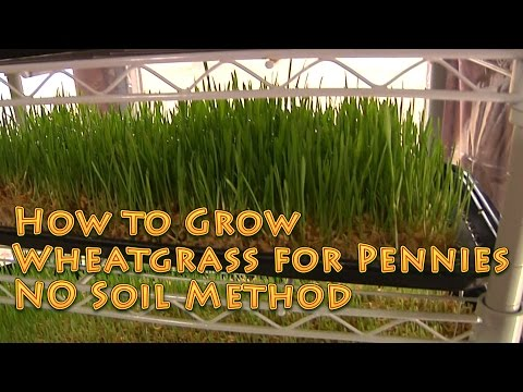 How to Grow WHEATGRASS No soil EASY