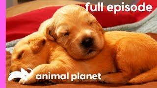 Download Labrador, Shih Tzu, and Golden Retriever Puppies! | Too Cute! (Full Episode) Video