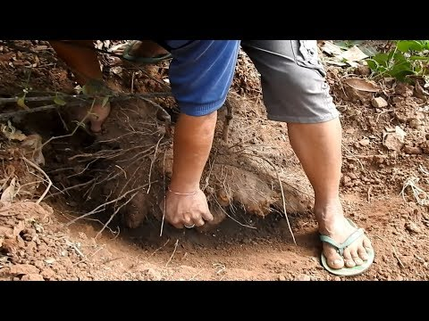 How to dig & eat a Yam - It can regenerate damaged skin - কাঠ আলু (रतालू)