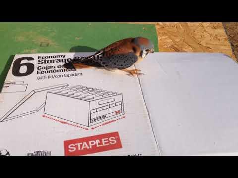 American Kestrel Falcon falls inside our