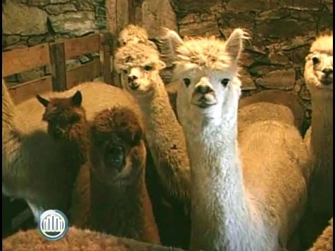 Alpaca Farming, A Dramatic Lifestyle Change