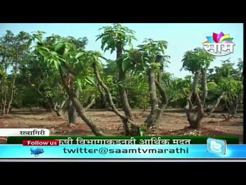 Proning mango trees - A successful story of Ratnagiri farmer Rajendra Nimbkar