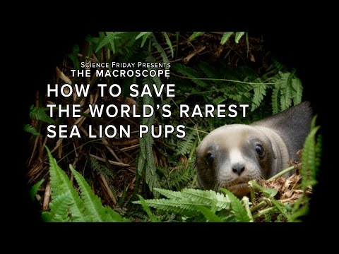 How to Save the World's Rarest Sea Lion Pups