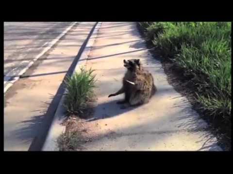 Rabid Raccoon in Talladega County
