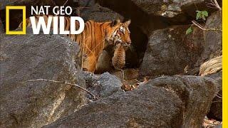 Download Tiger Cub Escape | Secret Life of Tigers Video