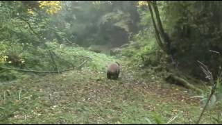 Hua Yan and Zhang Meng Pandas Being Released into the wild.
