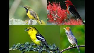 download suara kicau burung pikat semua jenis burung mp3