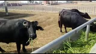 Bhuri nili ravi buffalos - The Most Popular High Quality