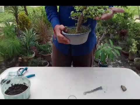 How to cut jade bonsai plants roots