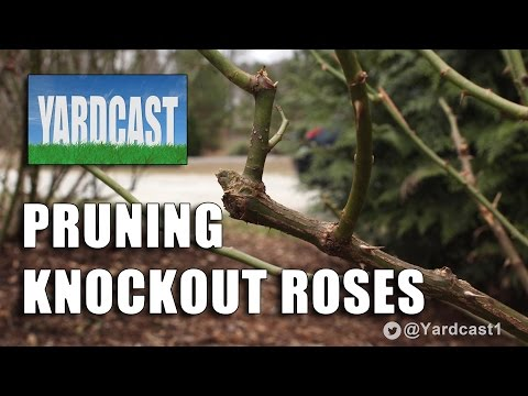 Winter Pruning - Knockout Roses
