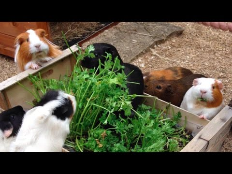Grow Your Own Veg and Herbs for Guinea Pigs