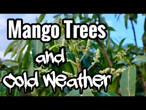 Mango Trees and Cold Weather